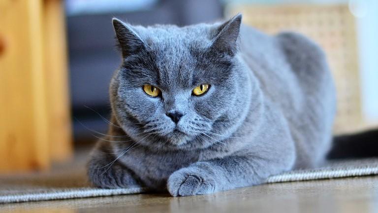 https://pixabay.com/en/chartreux-cat-animal-pet-portrait-3298051/