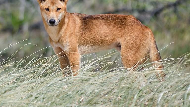 Dingo on Fraser Island © Newretreads / WikiCommons