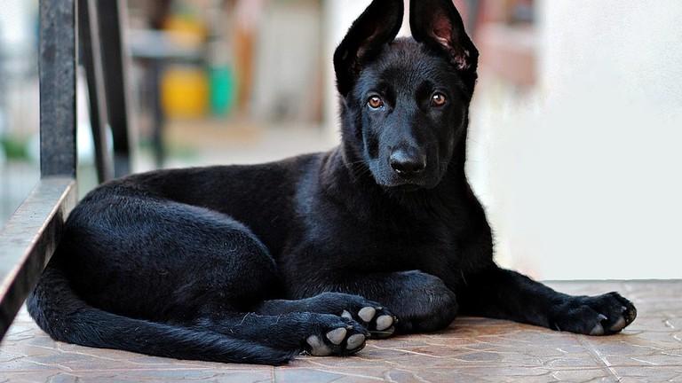 https://pixabay.com/en/black-german-shepherd-puppy-dog-lie-2978323/