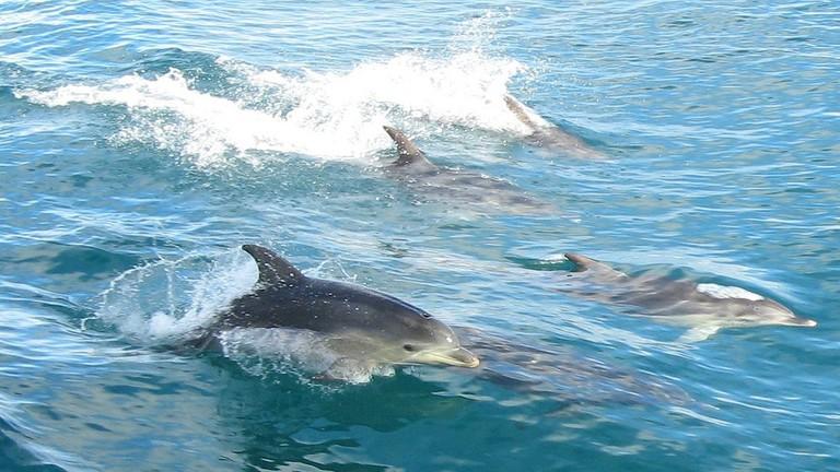 Dolphins in Port Phillip Bay © DocklandsTony / Flickr