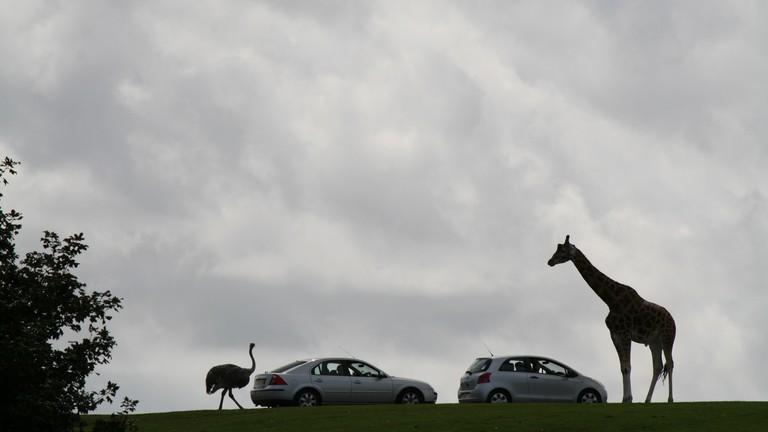 Giraffe greeting a car at West Midland Safari Park