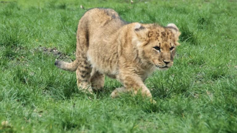 Lion cub at Knowsley Safari