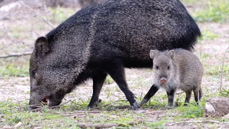 Keep your eyes peeled for peccaries