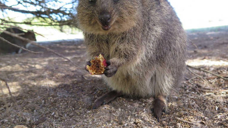 Quokka on Rottnest Island © S. Rohrlach / Flickr