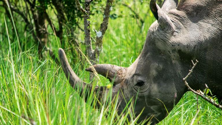 Rhino Ziwa