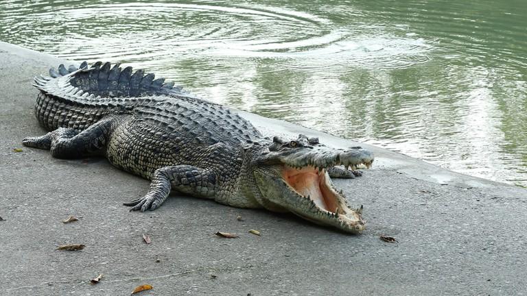 Crocodile at Crocodile Farm in Thailand