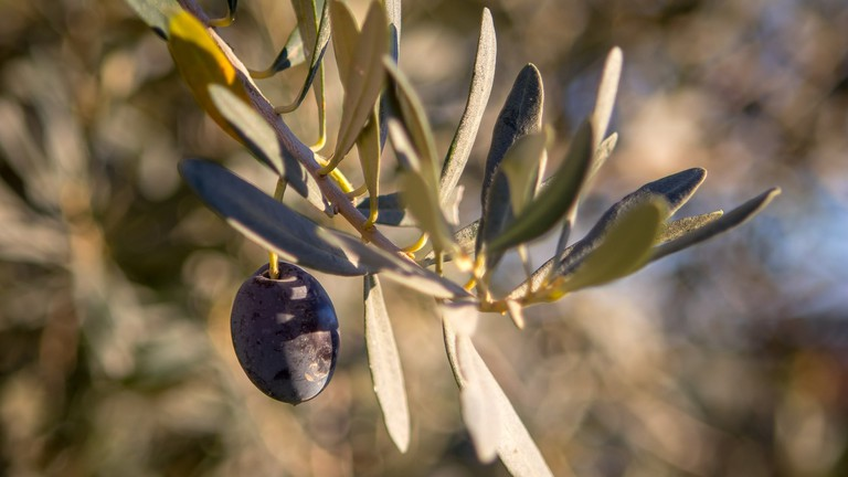 Visit the oldest olive tree just outside Monaco