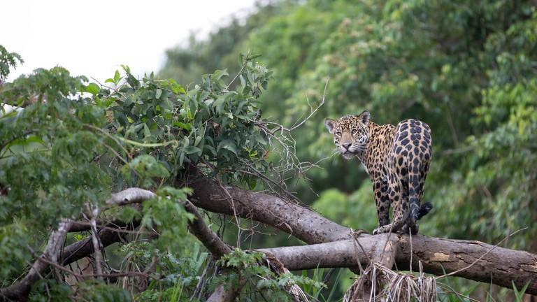 Costa Rica Wildlife: Panthera onca.