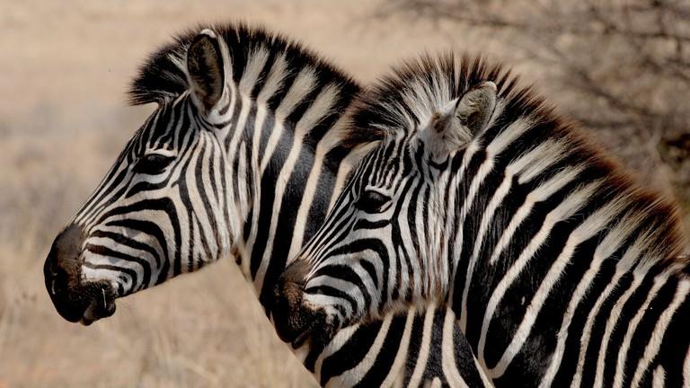 Zebras are plentiful at Kragga Kamma Game Park