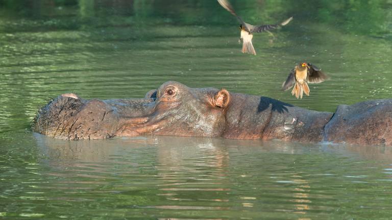 Africa, South Luangwa National Park. Hippopotamus in pool (WILD: Hippopotamus amphibius) with Yellow-billed oxpeckers.