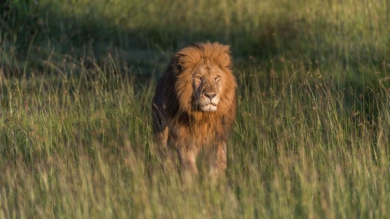 Male Lion on the plains of the Masi Mara