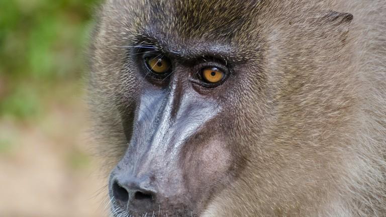 Portrait of drill monkey in rain forest of Nigeria.