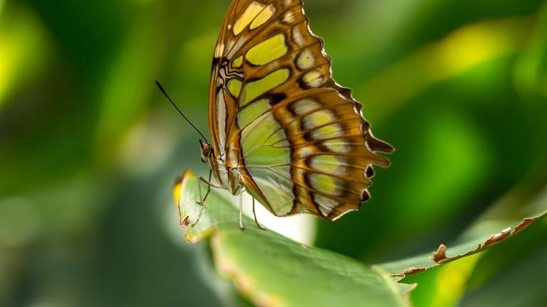 The Malachite Butterfly, Aruba Butterfly Farm