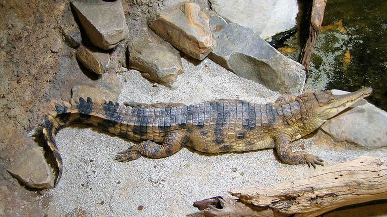 Slender-snouted crocodile at the Aquarium Tropical de la Porte Dorée