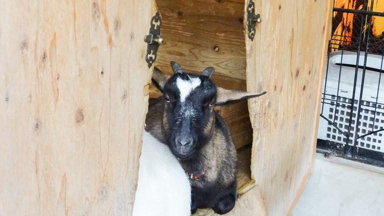 Resident goat taking a rest at Sakuragaoka Cafe
