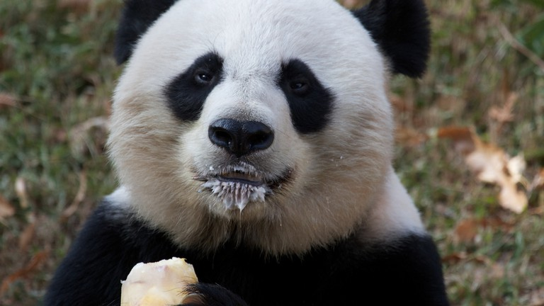 Mei and her popsicle at the National Zoo   © Brian Gatwicke / Flickr