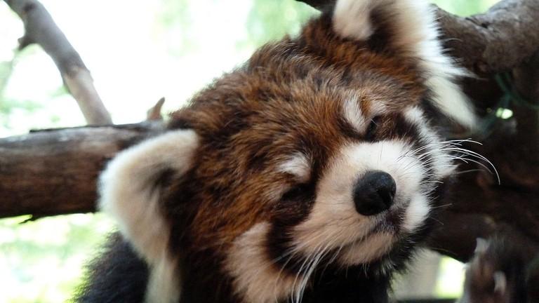Red panda at Ueno Zoo