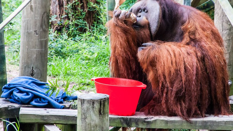 Orangutan at the Houston Zoo