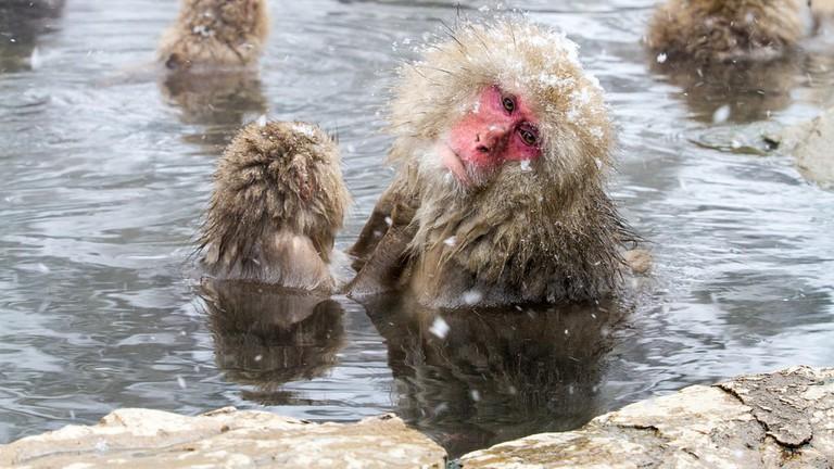 Macaques enjoying a bath in Yamanouchi, Japan