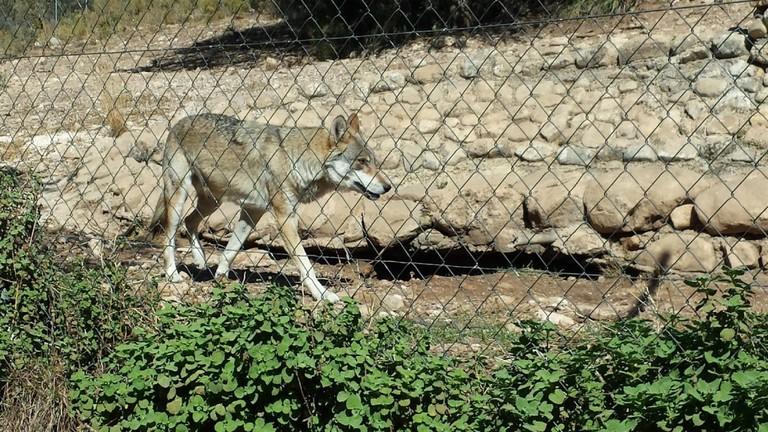 Wolves at Lobo Park; Encarni Novillo