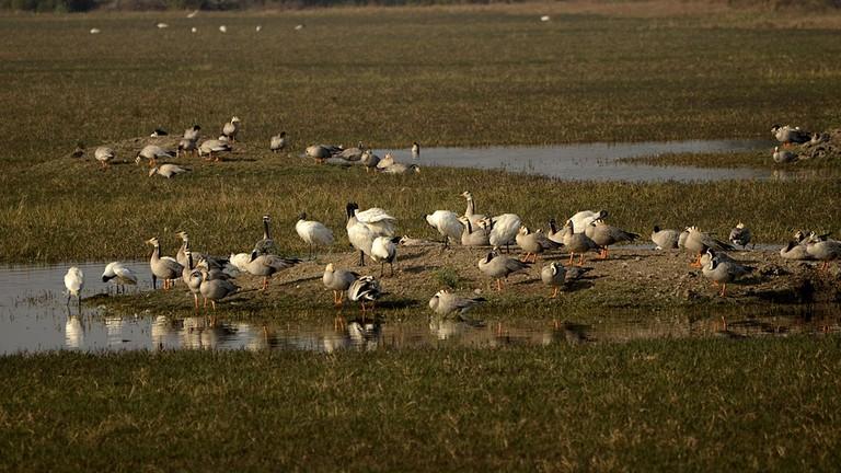 Bar-headed goose and black-headed ibis