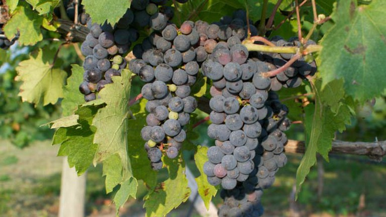 Grapes ripening at Moonlight Ridge Vineyard