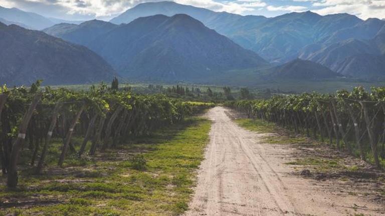 Vineyard in Salta