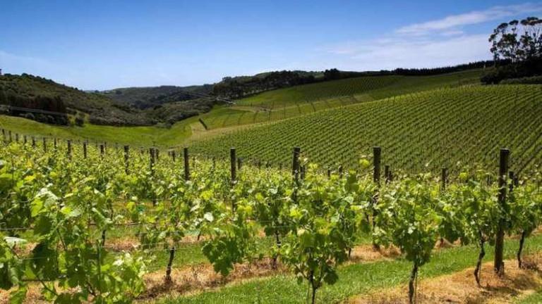 Cable Bay Vineyard
