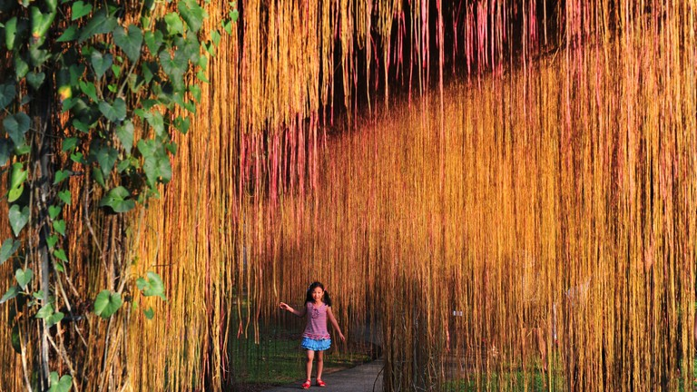 Curtain Ivy at Singapore Botanic Gardens