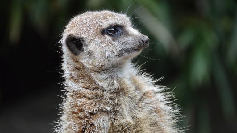 meerkat-2366412_1920