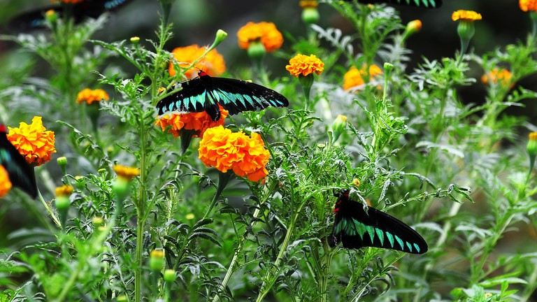 Raja Brooke Butterfly in Cameron Highlands, Malaysia.