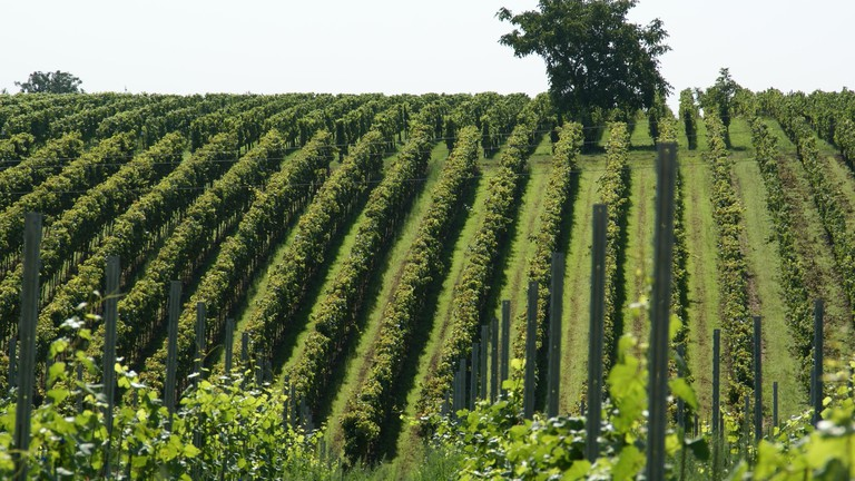 Vineyard | © WikimediaImages/Pixabay