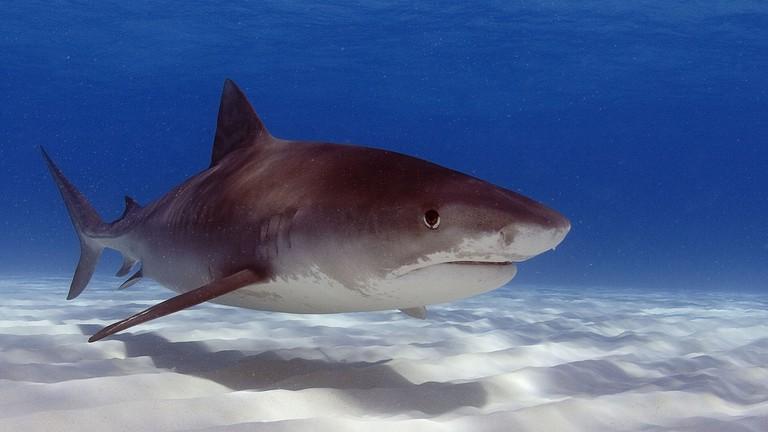Tiger shark   © Oregon State University/Flickr