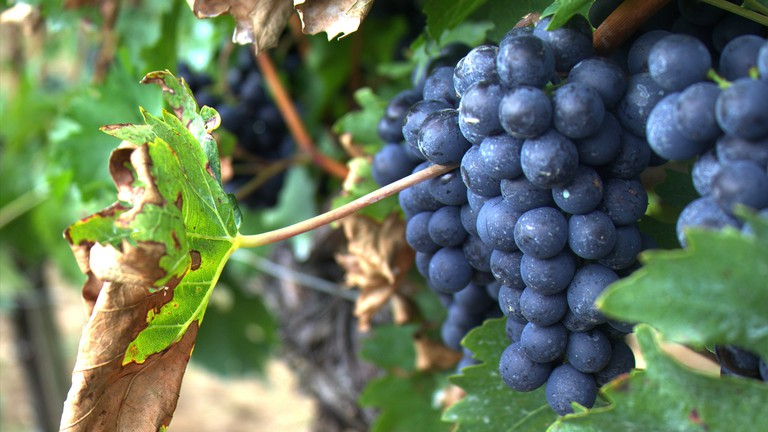 Grapes | © tribp/Flickr