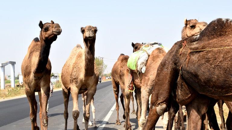 Camels   © Neptunecloud/Flickr