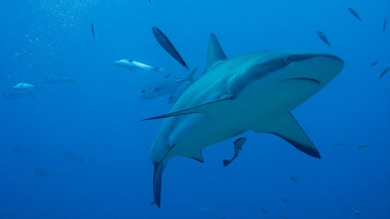 The Top Places To Dive With Sharks In The Caribbean