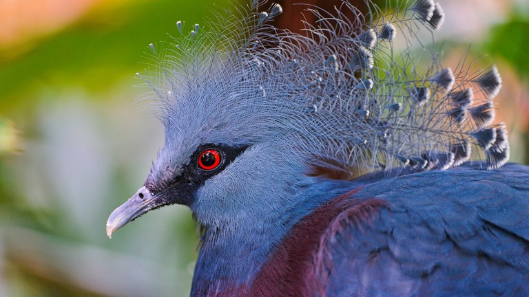 The Victorian Crown Pigeon with its feather crest | ©Tambako The Jaguar / Flickr