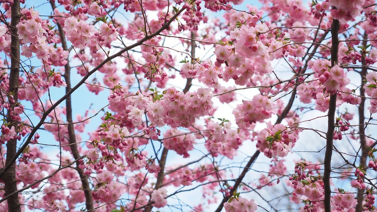 Incredible Cherry Blossom Trees Are Illuminating Berlin S Streets