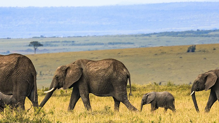 10 Things You Need To Know About Kenya S Iconic Elephants