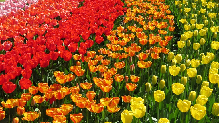 These Are Our Tulips Today >> The Best Places To See Tulips In The Netherlands