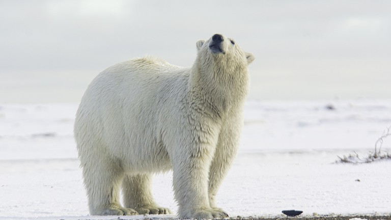 Polar bear I © Anita Ritenour/Flickr