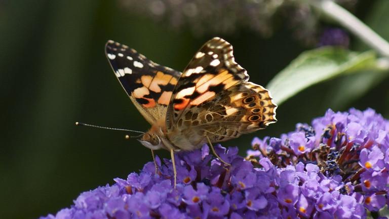 Butterfly Sword History