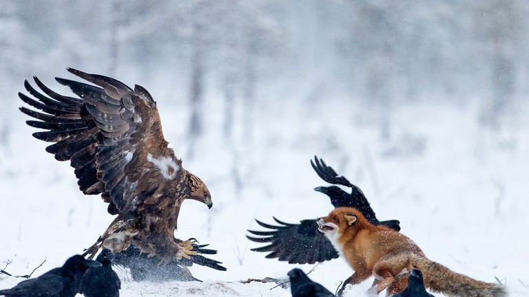 Golden eagle and red fox | Courtesy of Conny Lundström