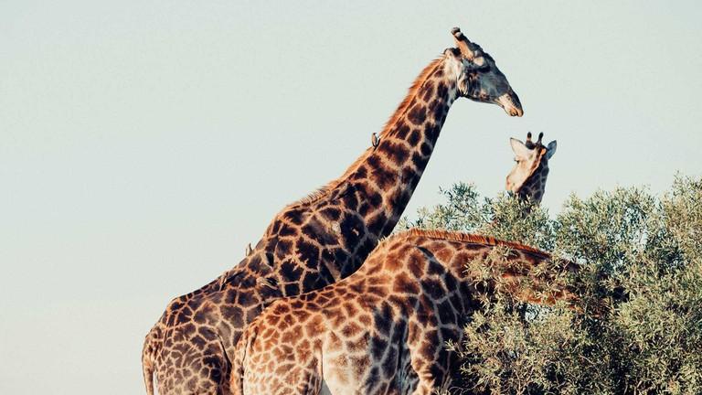 Three grazing giraffes | ©Cara Fuller/Unsplash
