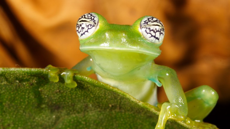 Pretty-eyed glass frog | © Santiago Run/Flickr
