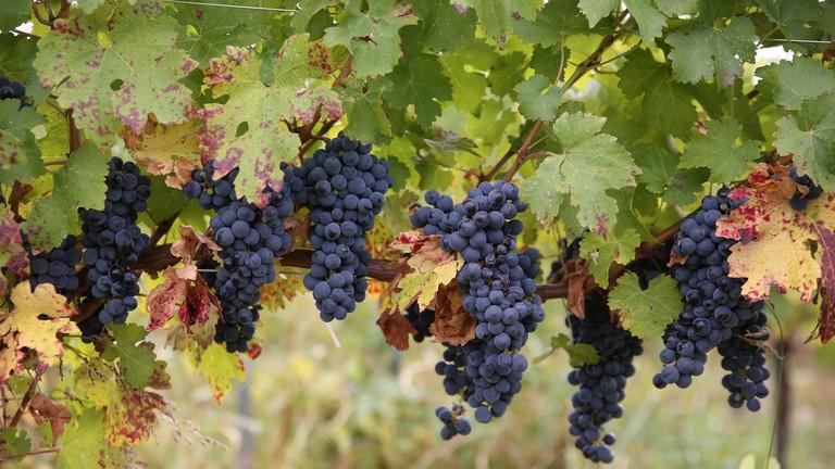 Romanian grape varieties © Courtesy of Alina Iancu