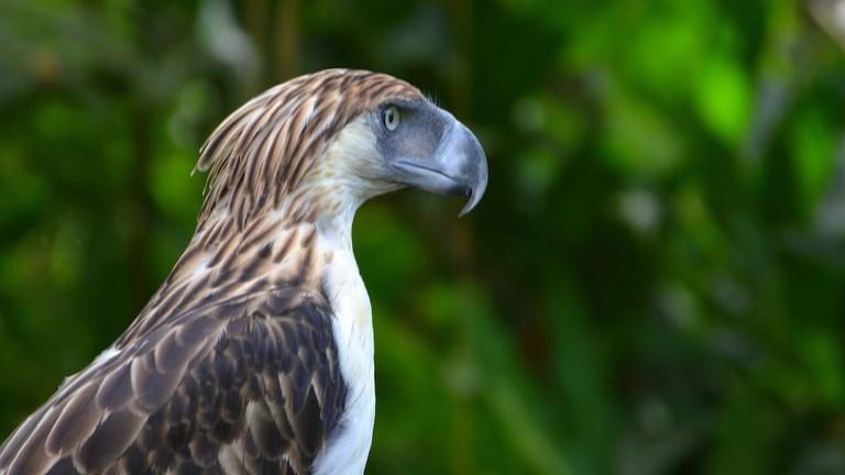 Philippine Eagle | © Shankar S. / Flickr