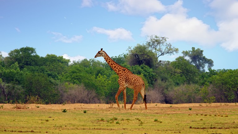 Thornicroft giraffe | © Paula French / Shutterstock