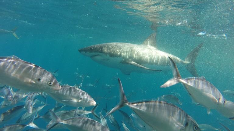 Great white shark | © Courtesy of Tom Smith