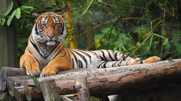 Malayan Tiger: 11 Facts About Malaysia's National Animal